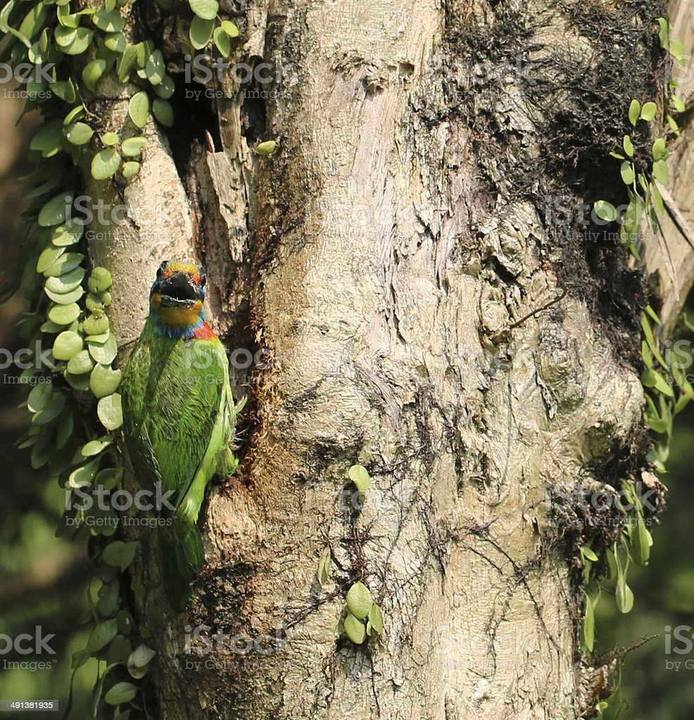 Muller's Barbet with surprised expression stock photo