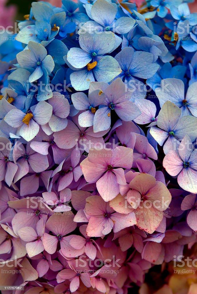 Multi -Color hydrangea plant stock photo