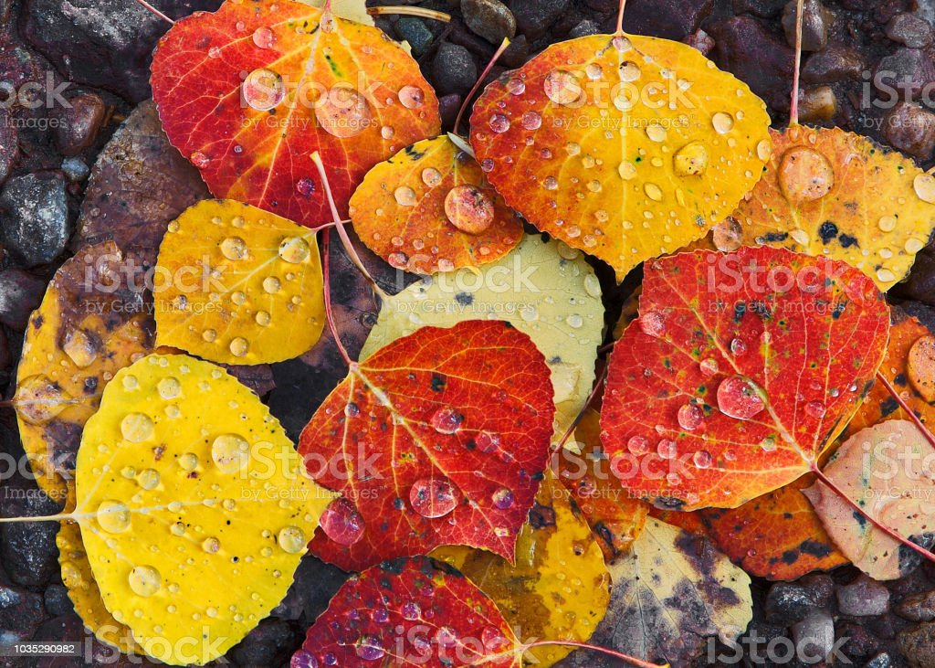 Multi colored Aspen Leaves with Raindrops in Close-up Layered on Rocks