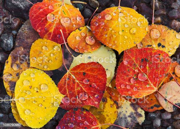 Photo of Multi colored Aspen Leaves with Raindrops in Close-up
