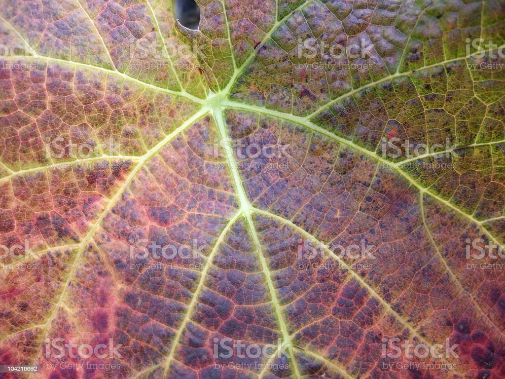 detail of a vine leaf with great pattern and colors at autumn time