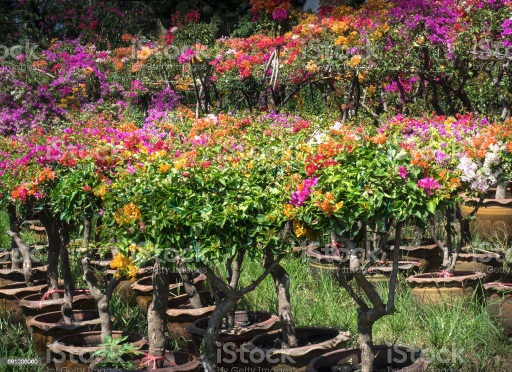 Multi colored Bougainvillea Plants royalty-free stock photo