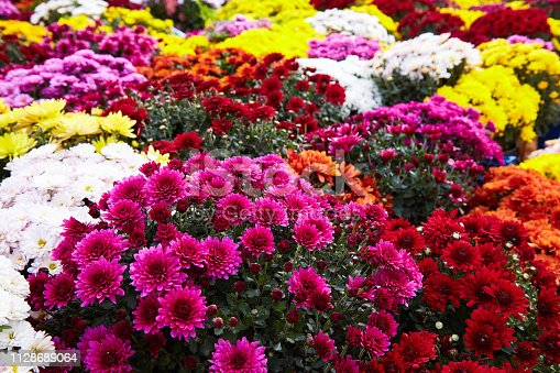 Chrysanthemum flowers as a background close up. Multi colored  Chrysanthemums. Chrysanthemum wallpaper. Floral background. Selective focus.