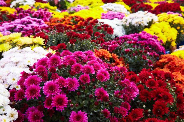 multi couleur chrysanthèmes. - couleur des végétaux photos et images de collection