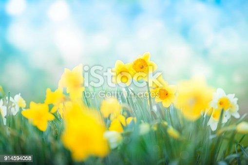 istock Multi colored daffodils spring blossom 914594058