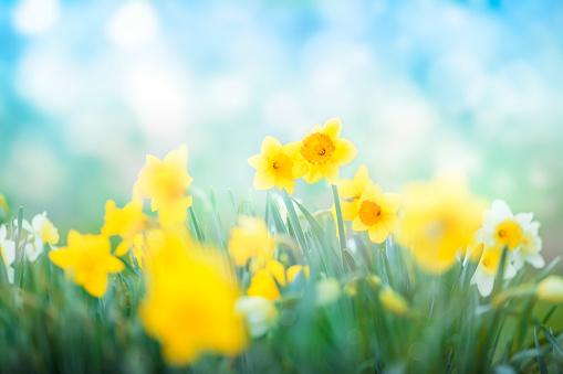 Multi colored daffodils spring blossom