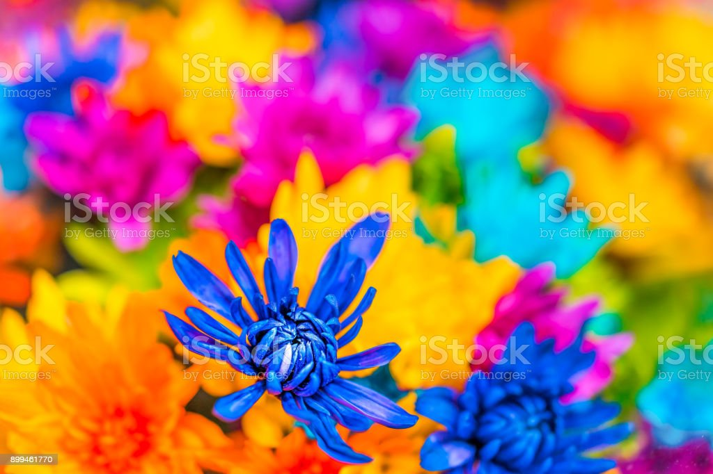 Multi colored dyed daisies in bouquets macro closeup with vibrant...