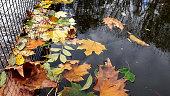 Wet fall leaves. Colorful fall season. Autumnal foliage backdrop.