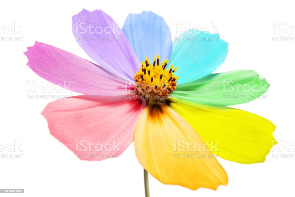 multi colored petals royalty-free stock photo