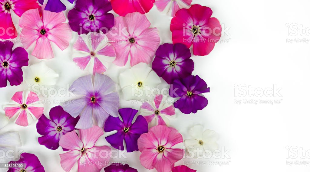 Multi colored phloxes flowers on white background with copy space. stock photo