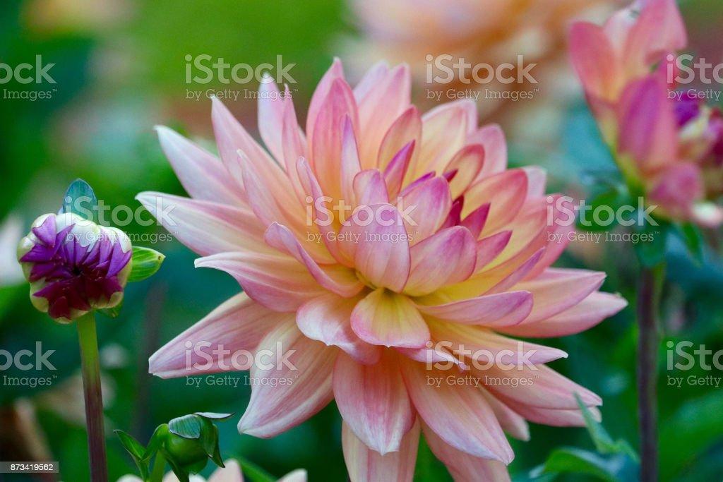 Multi Colored Pink Dahlia stock photo