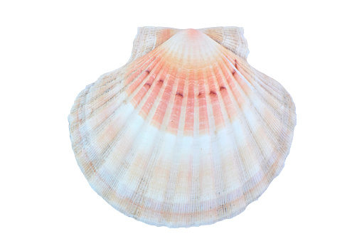 Multi Colored Scallop Seashell White Background