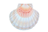 A single multi colored scallop seashell with a natural radial pattern and striped with pink, orange, white and yellow pastel colors, isolated on a white background.