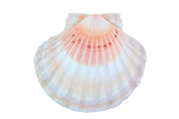 seashell pétoncle multi couleur fond blanc - coquillage photos et images de collection