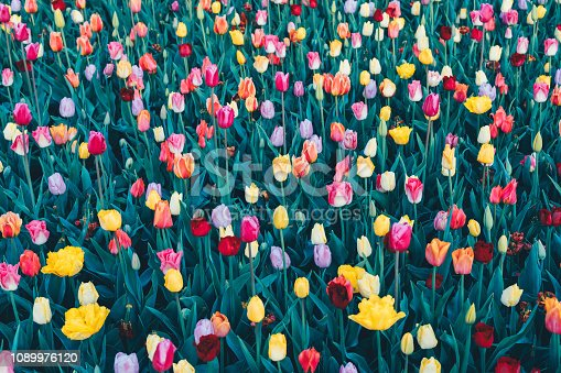Colorful tulips from above.