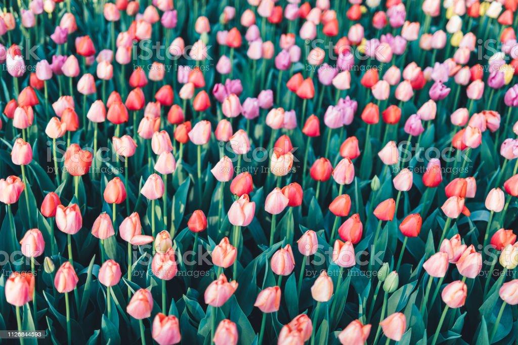 Multi Colored Tulip Background stock photo