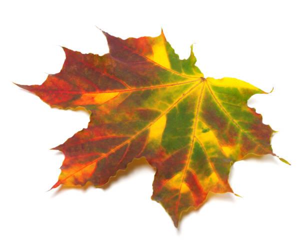 Multicolor autumnal maple-leaf - foto stock