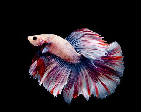 Multicolor Betta Fish Stock Photo Download Image Now Istock
