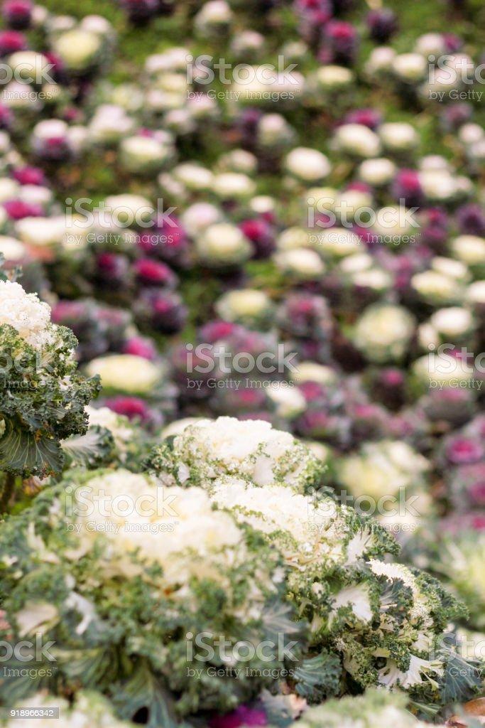 multicolor decorative cabbage in blossom botanical Garden. stock photo