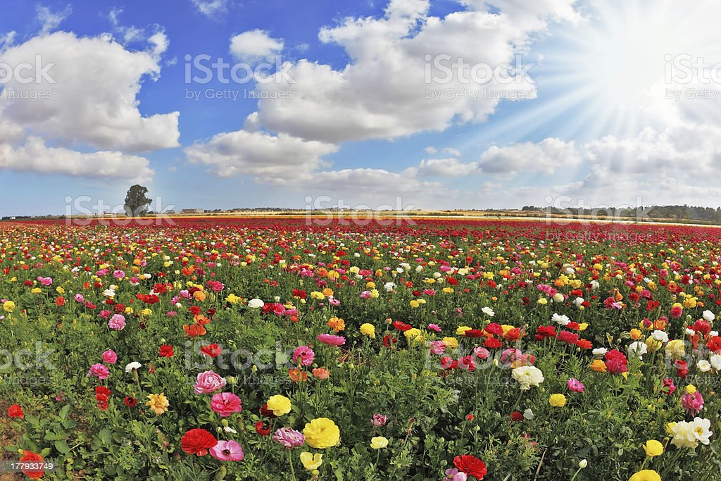 Multi-color huge field of buttercups royalty-free stock photo