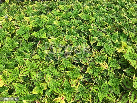 Pattern of Painted nettle garden for background and textue, agriculture concept