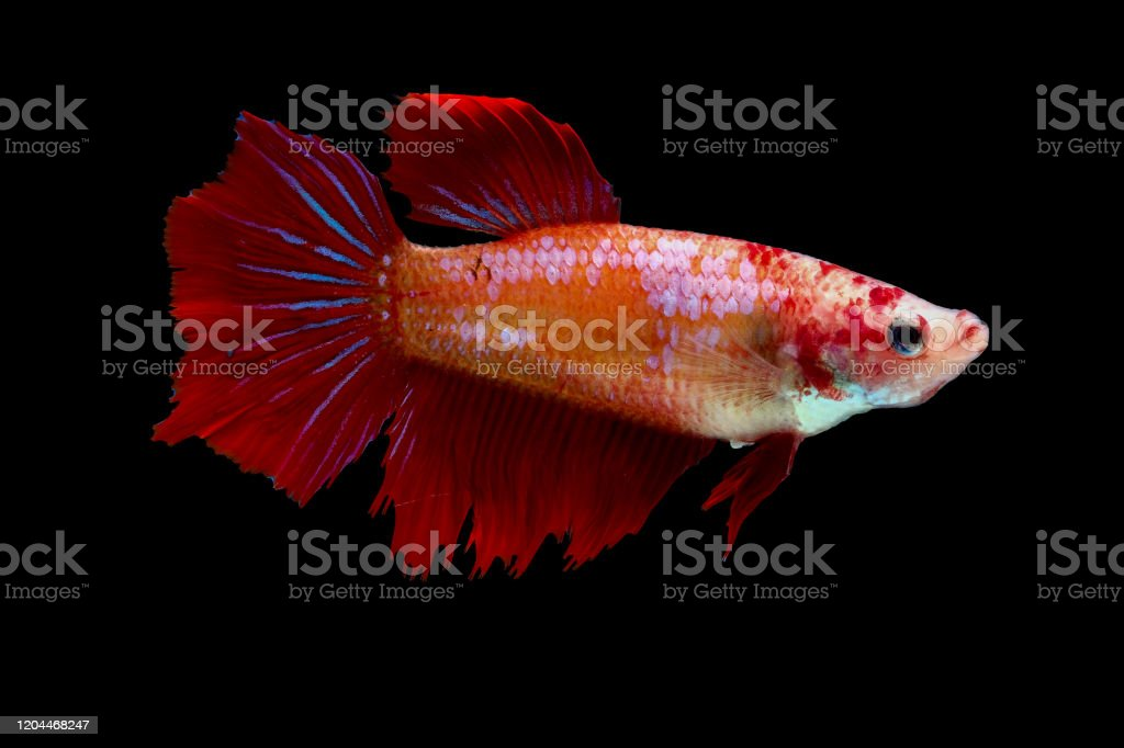 Multicolor Or Colorful Female Betta Fish Siamese Fighting Fish Was Isolated And Swim On Black Background Stock Photo Download Image Now Istock