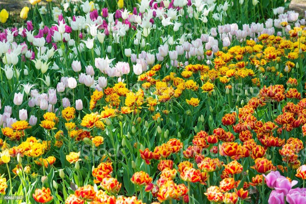 Multicolor tulips in the spring garden. Springtime flowering. stock photo