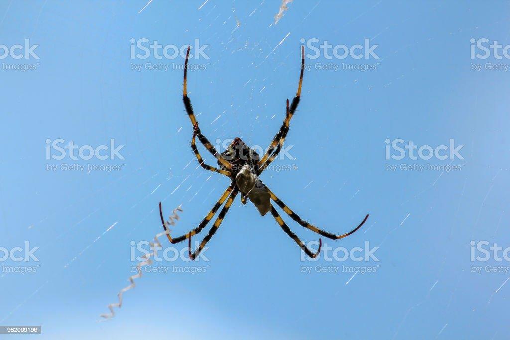 Multi-colored Argiope aranha na natureza. - foto de acervo