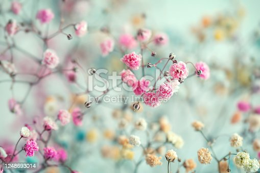 Multi-colored baby's breath flowers background, soft focus