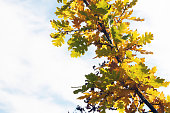 Multicolored branch of oak leaves against the sky. Autumn time. Abstract background.
