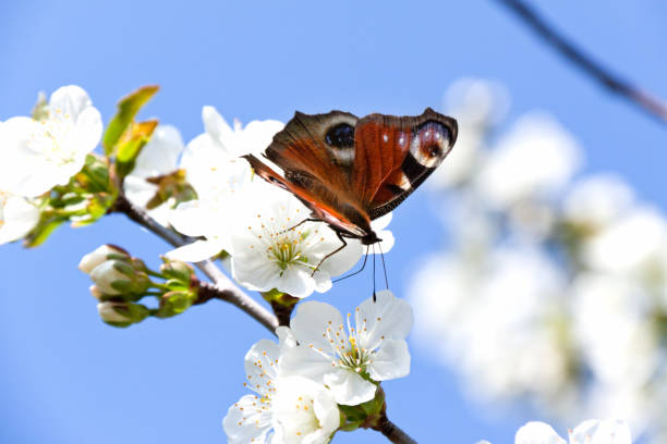 Multicolored butterfly sits on a white apple blossom picture id1259616230?b=1&k=6&m=1259616230&s=612x612&w=0&h=r3uvdhex0lg4o5yquzx66wjvbqu782fn 5rtbqkl2wu=