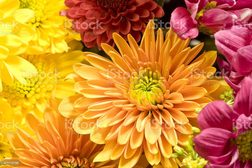 Multicolored Chrysanthemums background stock photo