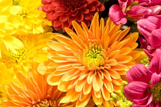 multicolored chrysanthemums background - chrysant stockfoto's en -beelden