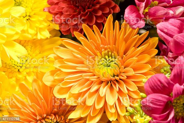 Photo of Multicolored Chrysanthemums background