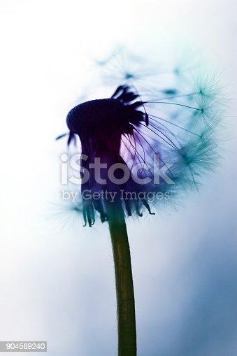 640082034istockphoto Multicolored dandelion – blowball 904569240