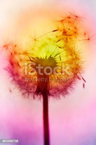 640082034istockphoto Multicolored dandelion – blowball 904569738