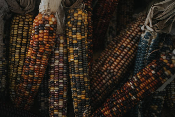 Multicolored Ears of Corn in Fall Colors stock photo