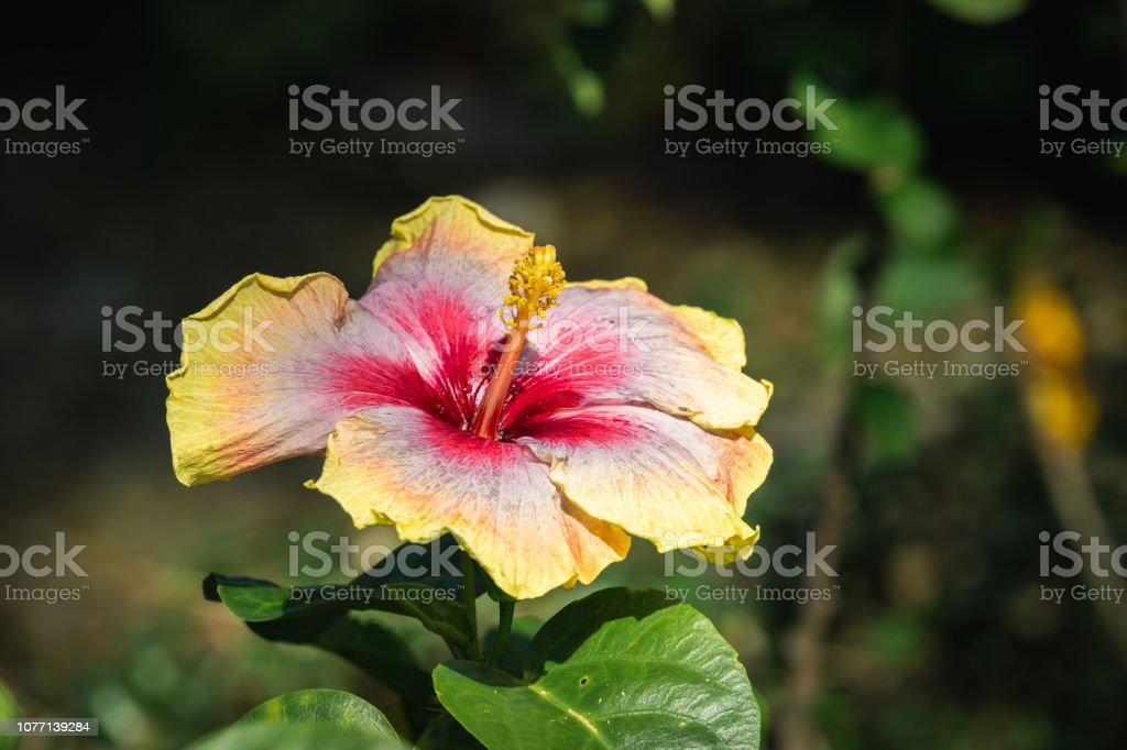 Multicolored Hibiscus Flower Stock Photo Download Image Now Istock