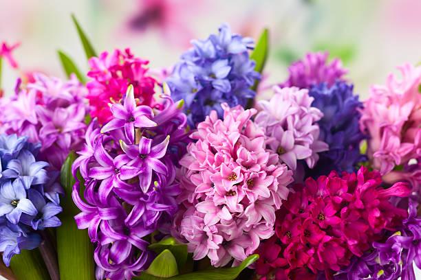 멀티컬러 hyacinths - 히아신스 뉴스 사진 이미지