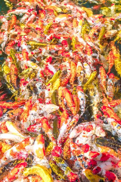 bunte Koi-Fische schwimmen in einem blauen Teich. – Foto