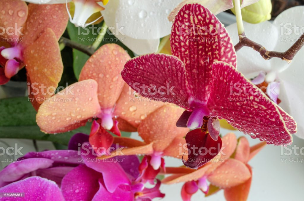 Multicolored orchids royalty-free stock photo