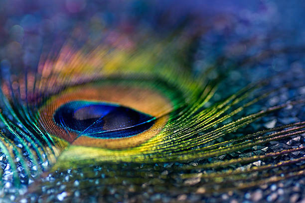 Multicolored peacock feather, bokeh light Multicolored peacock feather, textured peacock feather stock pictures, royalty-free photos & images