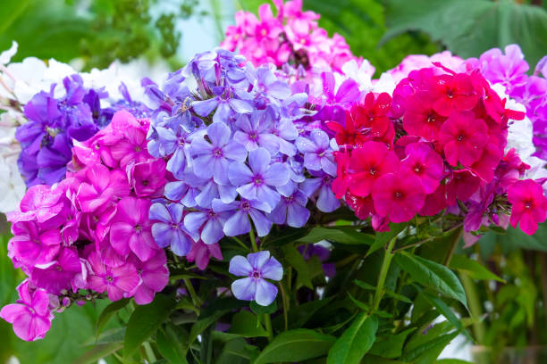 Multicolored phlox flowers  in a bouquet stock photo