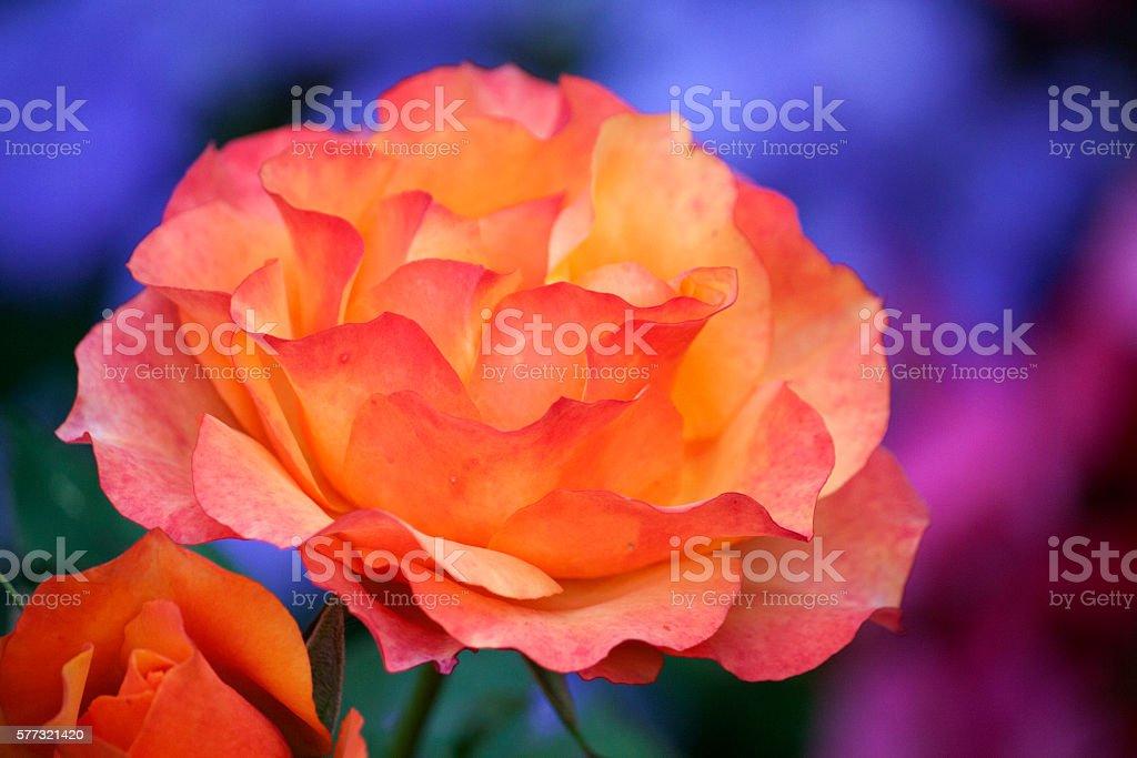 Multicolored Rose stock photo