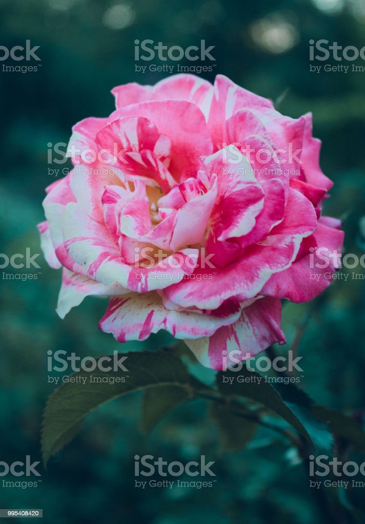 Multicolored Rose Pinkwhitered Flower Head Stock Photo & More ...