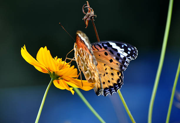 Multicolored Spotted Butterfly And Orange Flower