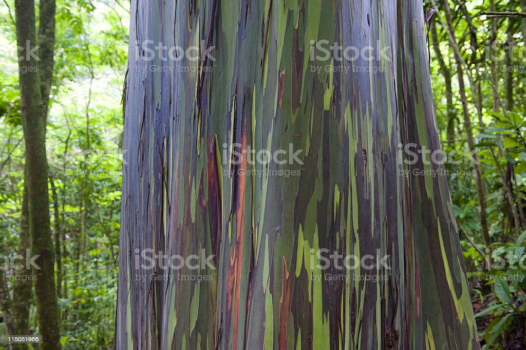Multicolored trunk of Rainbow Eucalyptus tree The Rainbow Eucalyptus (Eucalyptus deglupta) is also known as the Rainbow Gum or Mindanao Gum.  This tree is on the island of Maui in the Hawaiian Islands. Color Image Stock Photo