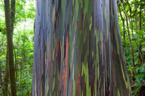 Multicolored Trunk Of Rainbow Eucalyptus Tree Stock Photo - Download Image Now
