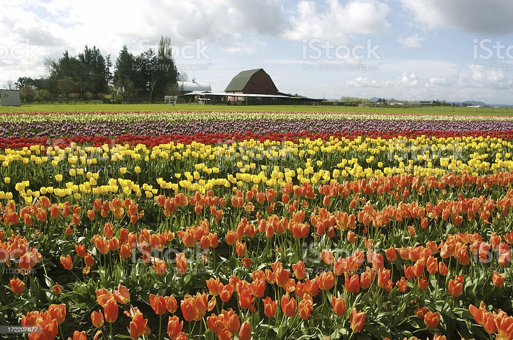 Multi-Colored Tulip Fields royalty-free stock photo