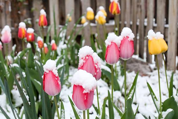 Multi-colored tulip garden covered in fluffy snow